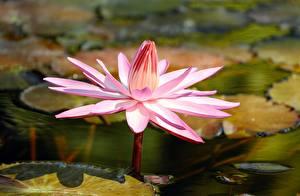 Фотографии Вблизи Лилия цветок
