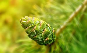 Фотография Крупным планом Шишка Зеленый Природа