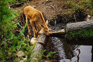 Фотографии Детеныши Лоси Ветвь Пьет воду