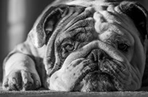 Фото Собаки Бульдог Морды Черно белое Mike Melnotte Животные