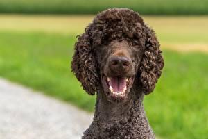 Фото Собаки Пуделя Головы Размытый фон Смотрит Животные