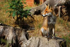 Фотографии Лисы Пень Размытый фон Рыжие Сидящие Животные