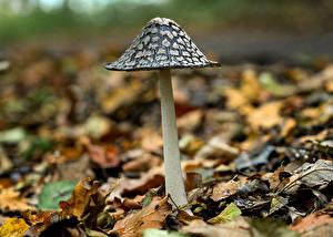 Фотография Грибы природа Вблизи Листва magpie inkcap Природа