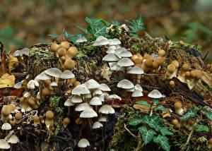 Фотография Грибы природа Много Пне stump puffballs, milking bonnet