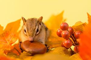 Фотография Орехи Виноград Бурундуки Осень Грызуны Листва Животные