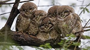 Фотография Совообразные Птицы 5