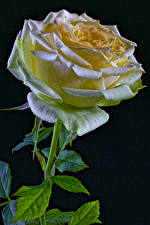 Фотографии Роза Крупным планом Черный фон Цветы