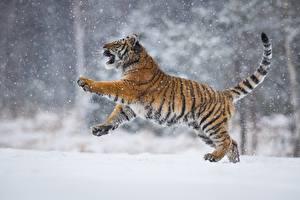 Обои Тигры Снег Petr Simon