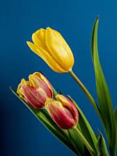 Обои Тюльпаны Крупным планом Цветной фон Три Капля Цветы