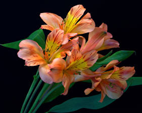 Фотографии Альстрёмерия Крупным планом Черный фон цветок