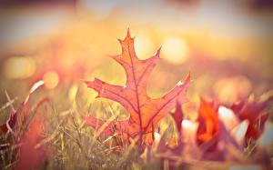 Обои для рабочего стола Осенние Крупным планом Дуб Боке Траве Лист Природа