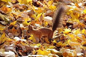 Фотография Осенние Белки Листья Хвоста
