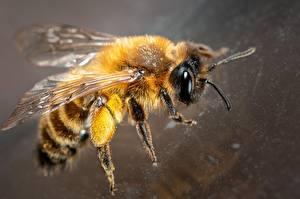 Фотографии Пчелы Вблизи Животные