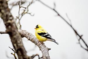 Фотография Птица Размытый фон Ветки Желтые American Goldfinch Животные