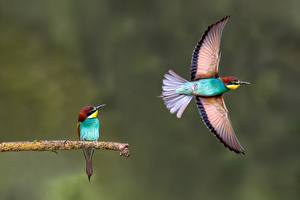 Обои для рабочего стола Птицы Летящий Две Крылья Merops Животные