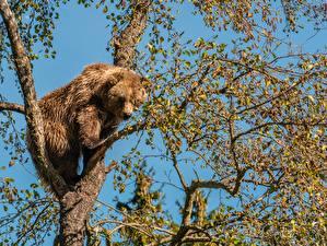 Фотография Медведь Бурые Медведи Ветвь Деревьев Животные
