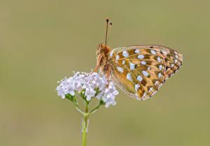 Фотография Бабочки Насекомые Крупным планом dark green fritillary Животные