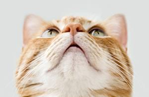 Фото Кошки Крупным планом Смотрят Морды Нос Животные