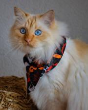 Картинки Кошки Морды Взгляд животное