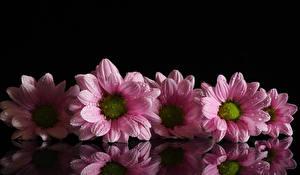 Обои для рабочего стола Хризантемы На черном фоне Розовый Капельки Отражается цветок