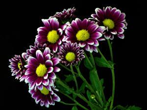 Фотография Хризантемы Крупным планом Черный фон Цветы