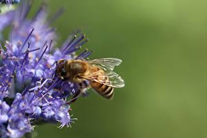 Фотографии Крупным планом Пчелы Насекомое Размытый фон Животные