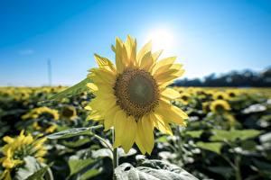 Фотография Крупным планом Подсолнечник Желтая цветок
