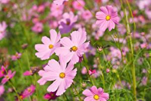 Обои Космея Вблизи Розовый цветок