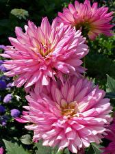Обои для рабочего стола Георгины Вблизи Розовый Цветы