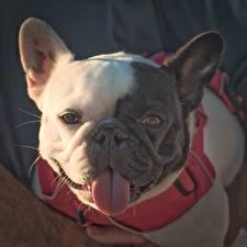 Картинка Собаки Французский бульдог Язык (анатомия) Морды Смотрят животное