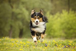 Фотографии Собака Бегущий Трава Спереди животное