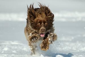 Фотографии Собаки Спаниель Бегущий Снеге Брызги Размытый фон Животные