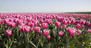 Обои для рабочего стола Поля Тюльпан Много Розовых Цветы