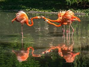 Фотография Фламинго Птицы Пруд Втроем Оранжевый Животные