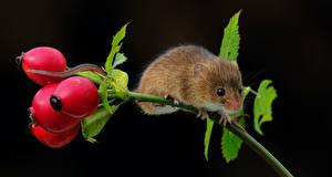 Картинка Мыши Черный фон Ветки Шиповник плоды Животные