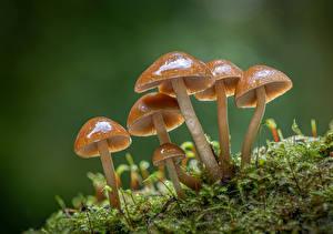 Обои Грибы природа Крупным планом Мхом clustered bonnets Природа