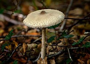 Обои Грибы природа Крупным планом Ветки slender parasol Природа