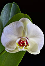 Обои для рабочего стола Орхидеи Крупным планом Черный фон Белая Цветы