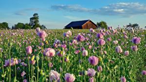 Картинки Мак Поля Розовая Цветы