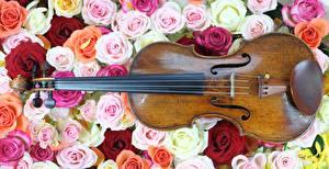 Картинки Роза Много Музыкальные инструменты Скрипки цветок