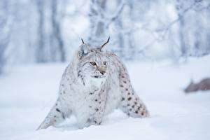 Картинка Барсы Снег Взгляд Животные