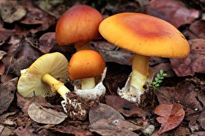 Картинки Мухомор Грибы природа Лист amanitaceae