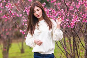 Картинка Азиатка Цветущие деревья Шатенки Свитере Смотрят Боке Девушки
