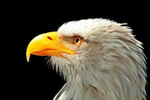 Обои для рабочего стола Птицы Крупным планом Клюв Белоголовый орлан Голова На черном фоне Животные
