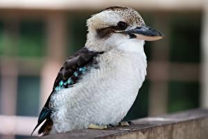Фотография Птицы Крупным планом Размытый фон Kookaburra Животные