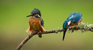 Обои Птица Обыкновенный зимородок Ветки Два животное