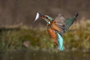 Фото Птицы Обыкновенный зимородок Рыбы Охотится Полет