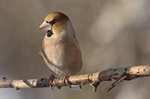 Картинка Птица На ветке Размытый фон Hawfinch животное