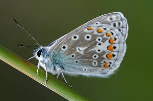 Фото Бабочка Насекомые Крупным планом common blue