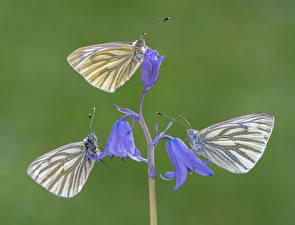 Обои Бабочки Насекомые Втроем green-veined whites